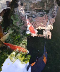 Jual Ikan Koi Lokal Harga Terjangkau