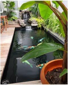 budidaya ikan koi di kolam beton