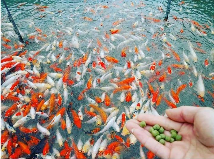 budidaya ikan koi di kolam
