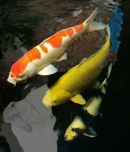 Jual Ikan Koi Solo