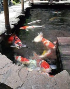 Jual Ikan Koi Daerah Blitar