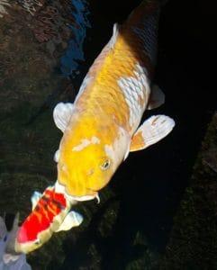Jual Ikan Koi di Balikpapan