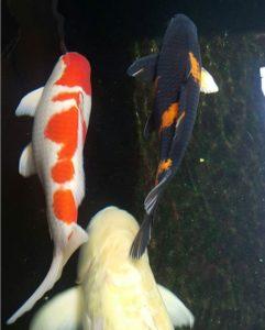 Jual Ikan Koi di Tulungagung