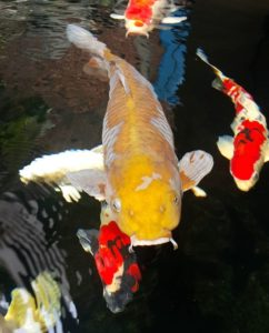 Jual Ikan Koi di Malang