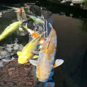 Jual Ikan Koi Jakarta Barat