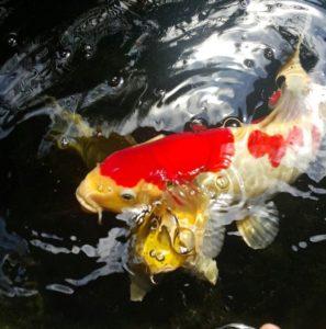 Bibit Ikan Koi Bandung