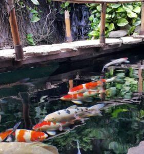 Cara Membuat Kolam Ikan Koi Minimalis