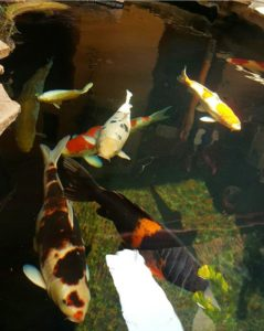 Harga Ikan Koi Bandung