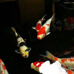 Harga Ikan Koi Blitar 2018