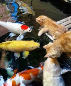 Ikan Koi Blitar Juara 1