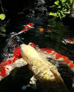 Jual Ikan Koi Kediri