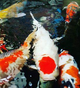 Jual Ikan Koi Makassar