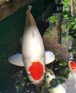 Jual Ikan Koi Murah