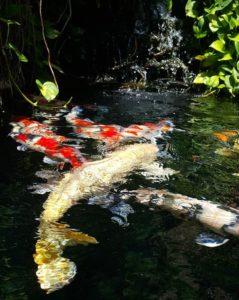 Jual Ikan Koi Tasikmalaya