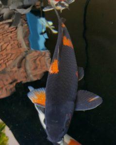 Jual Ikan Koi di Bali