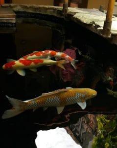 Harga Ikan Koi Blitar