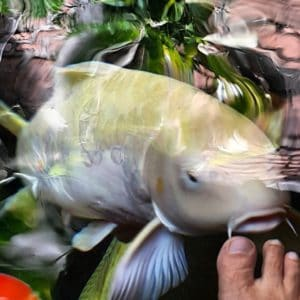 Jual Ikan Koi Jumbo