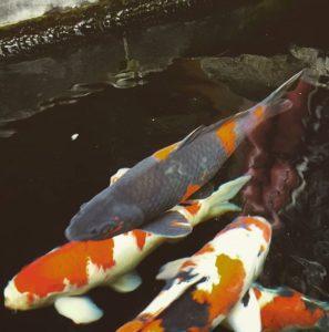 Tempat Jual Ikan Koi di Palembang