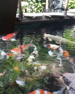biaya pembuatan kolam ikan koi minimalis