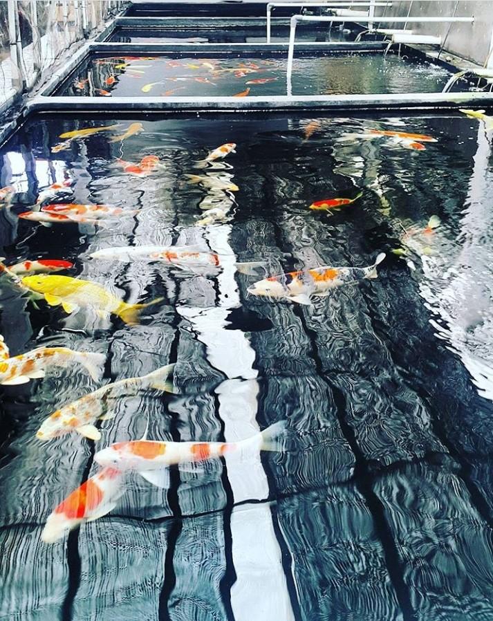 Jual Ikan Koi Jepang Asli