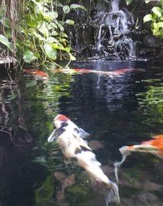 kedalaman kolam ikan koi minimalis