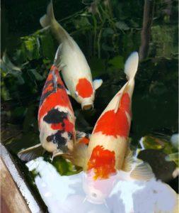 Jual Ikan Koi Banyuwangi