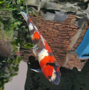 Jual Ikan Koi Murah di Bekasi