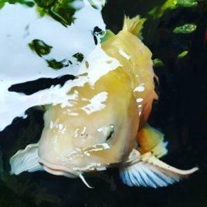 Jual Ikan Koi di Lombok
