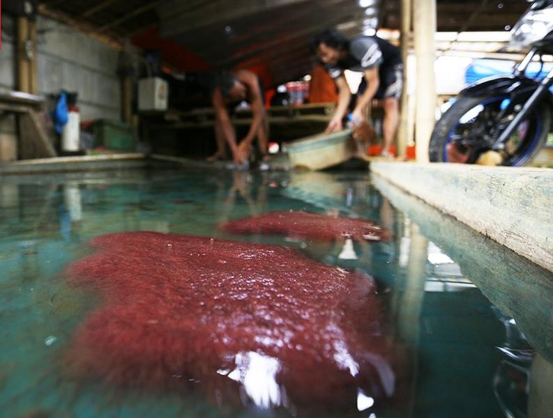 Cacing Sutera pakan ikan koi