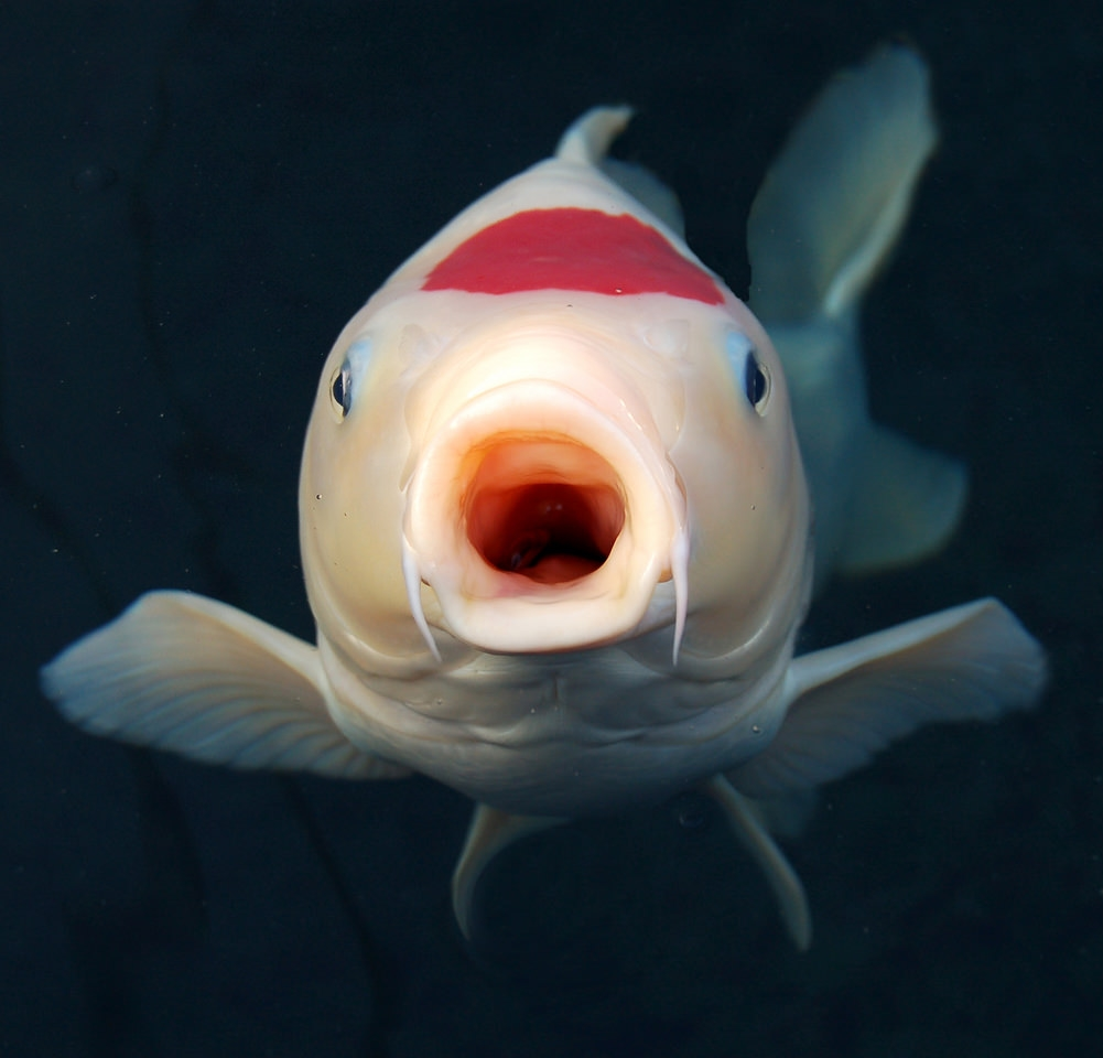 Cara Budidaya Ikan Koi di Aquarium dan Cara Membuat Aquarium Ikan Koi