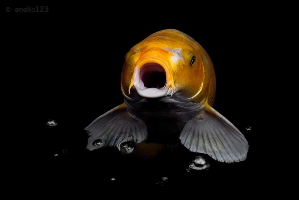 Jenis Ikan Koi dari Jepang