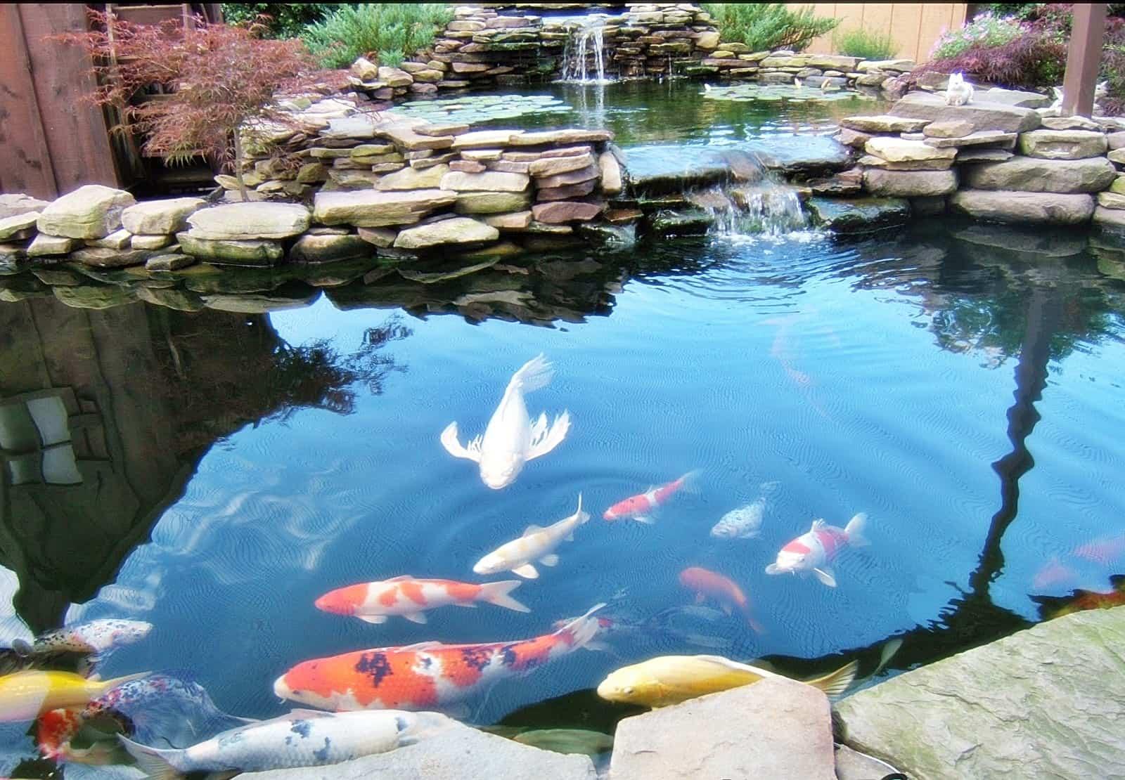 Perhatikan Luas dan Kedalaman Kolam Koi