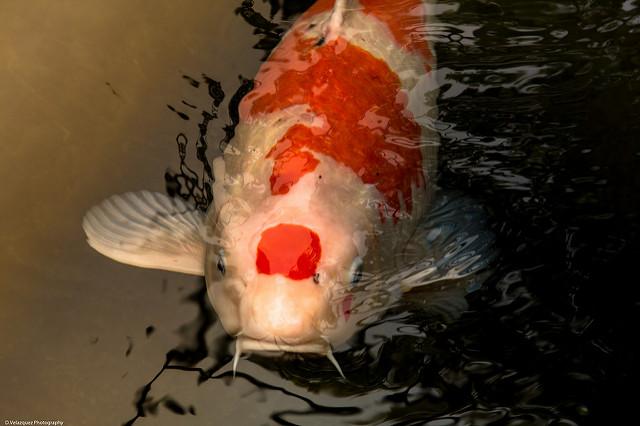 Ikan Koi yang bagus bercorak unik