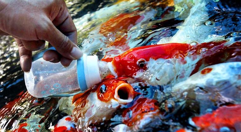 Langkah Pemberian Pakan Ikan Koi