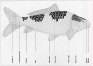 Rincian Badan Ikan Koi
