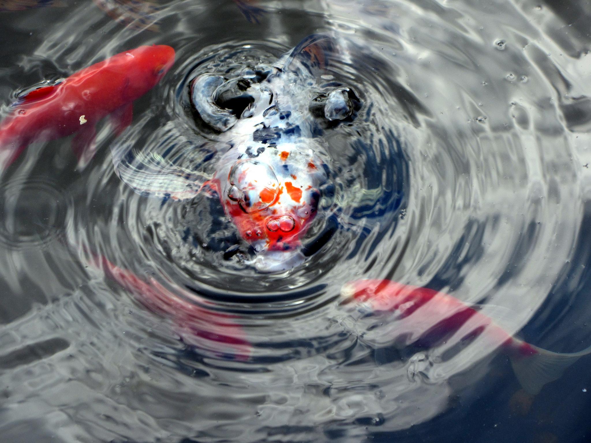 Tips Budidaya Ikan Koi