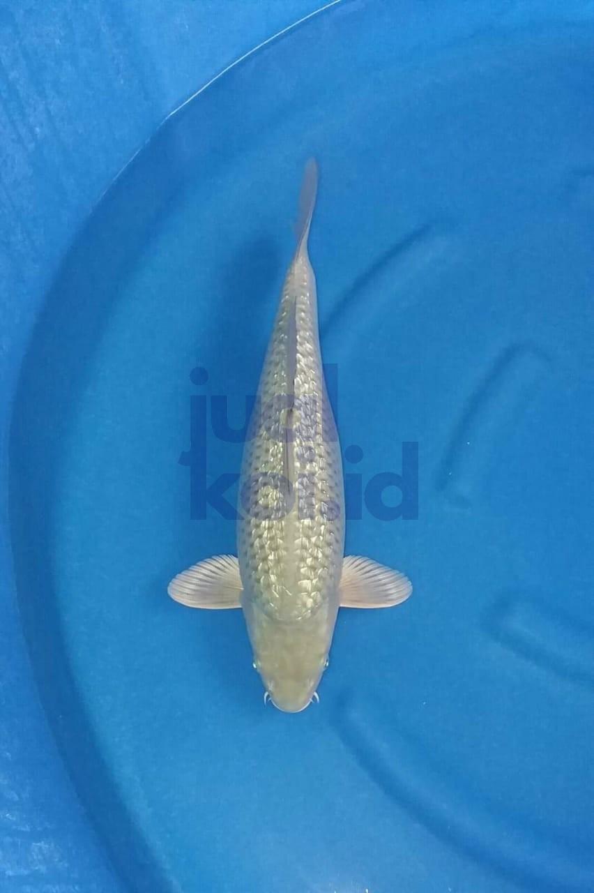jual ikan koi119 – Jual Ikan Koi Kualitas Juara. Harga