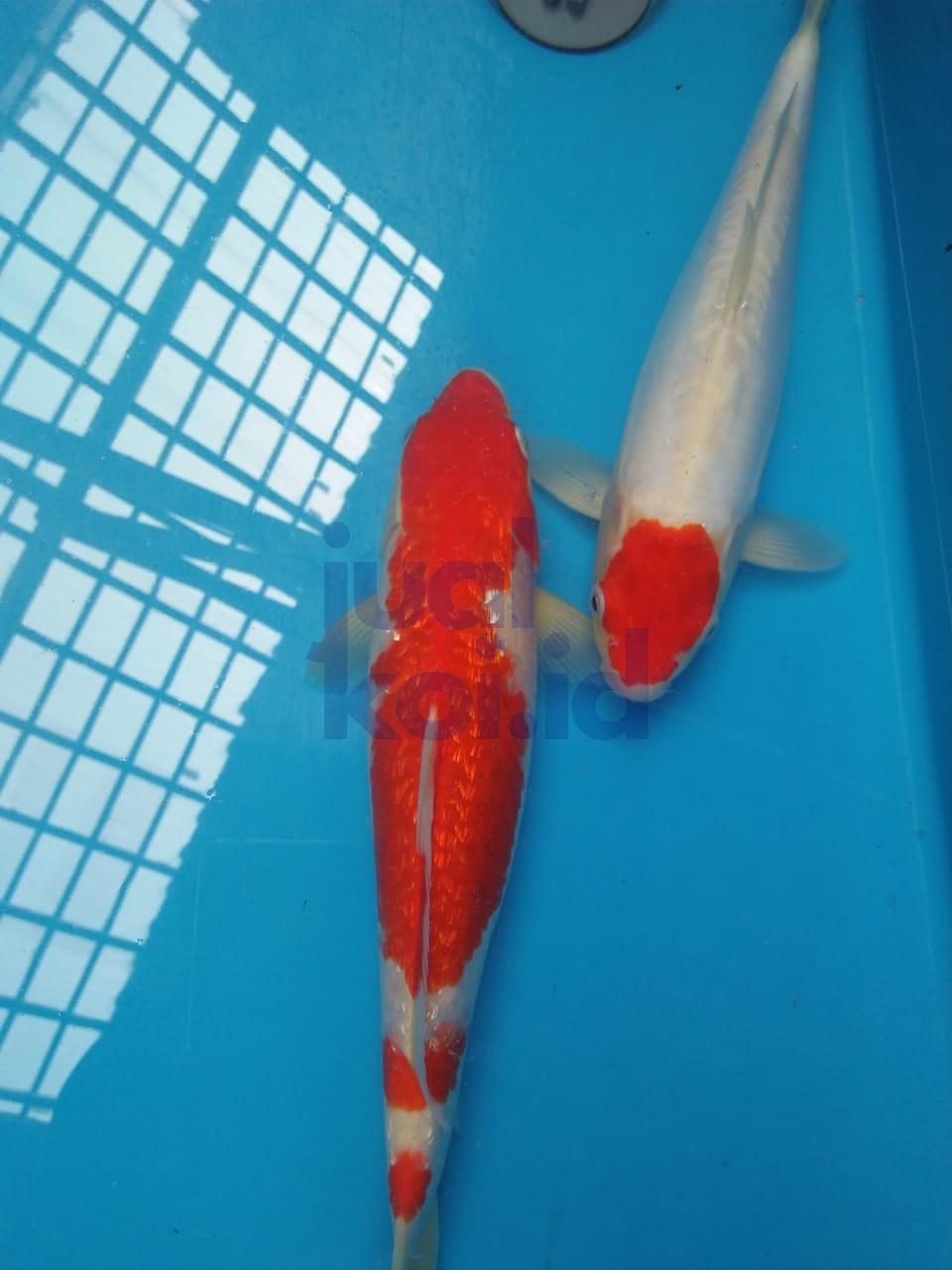Jual Ikan Koi Blitar